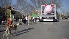 A woman takes a picture of an inflatable pig