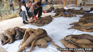 Surveying the bodies of trafficked pangolins