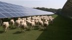 Sheep at solar farm