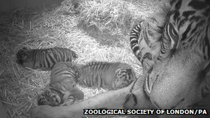 The triplet of Sumatran tiger cubs were born to five-year-old Sumatran tigress Melati