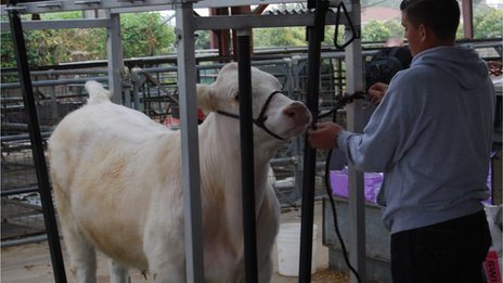 A student cares for a cow at Buena Park High School