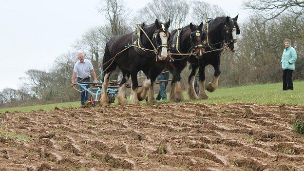 Heavy horses, Heligan, Cornwall, March 2014