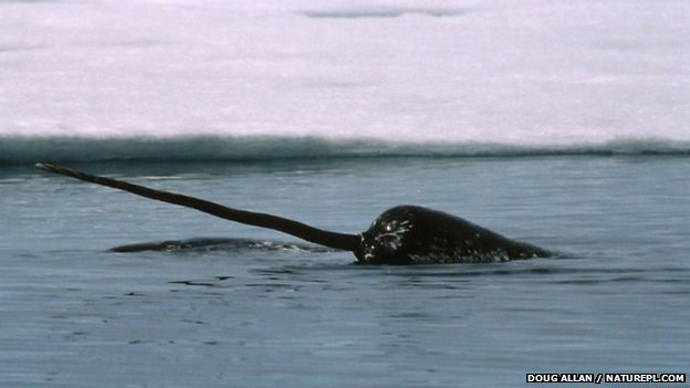 Narwhal with tusk