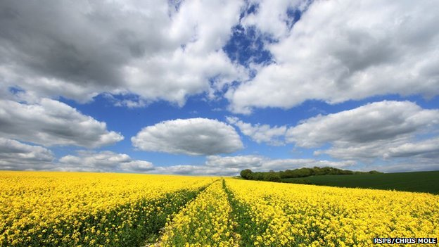 Rape Fields above Plumpton
