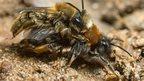 Mining bees mating