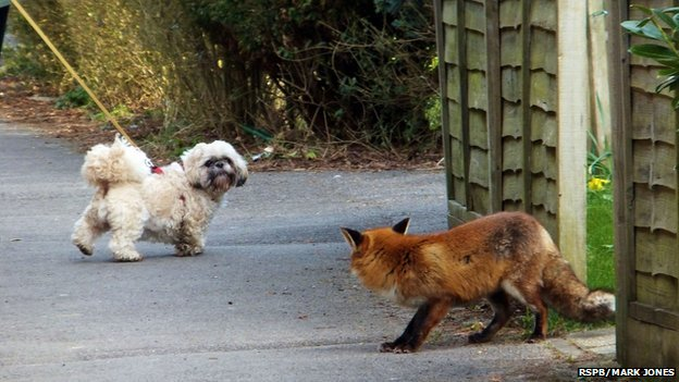 Fox Encounter, Tilmore Brook, Petersfield