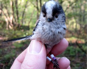 Ringed long-tailed tit
