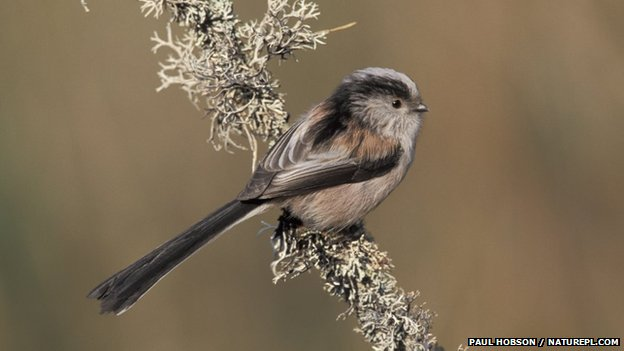 Long-tailed tit on a branch