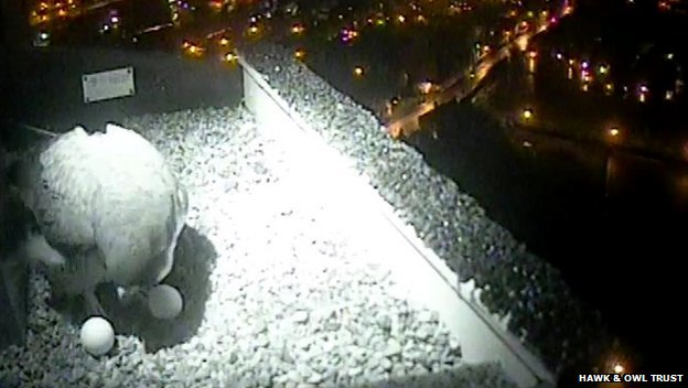 Infra-red view of peregrine's nest on Norwich Cathedral showing the second egg