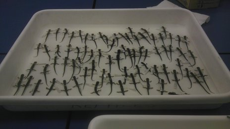 Tray of salamander specimens