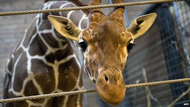 Marius the giraffe, who was put down by Copenhagen Zoo