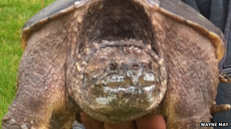 The common snapping turtle being held