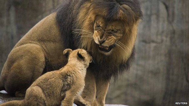 A large male lion sits with a young lion cub at Oregon Zoo in the US