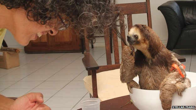 A young sloth objects to being weighed