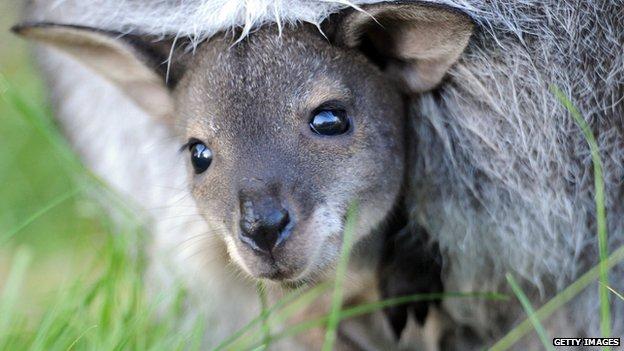A baby kangaroo in Hanover Zoo