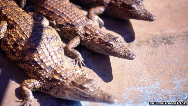 Three small crocodiles
