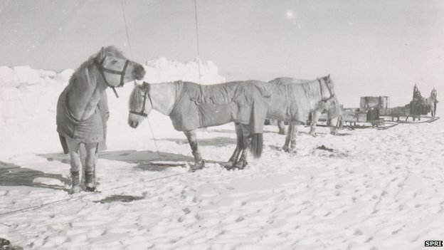 Pony camp, Camp 15. Ponies (left to right) Snippetts, Nobby, Michael and Jimmy Pigg, Great Ice Barrier, 19 November 1911
