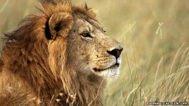African lion (Bernard  Castelein / NPL)