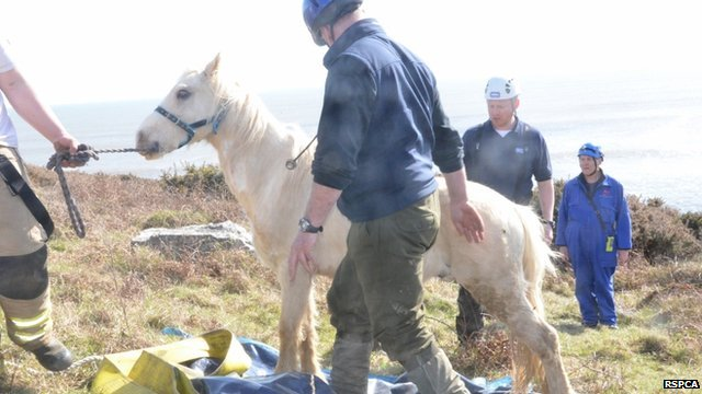 Goldie the pony recovered after his ordeal