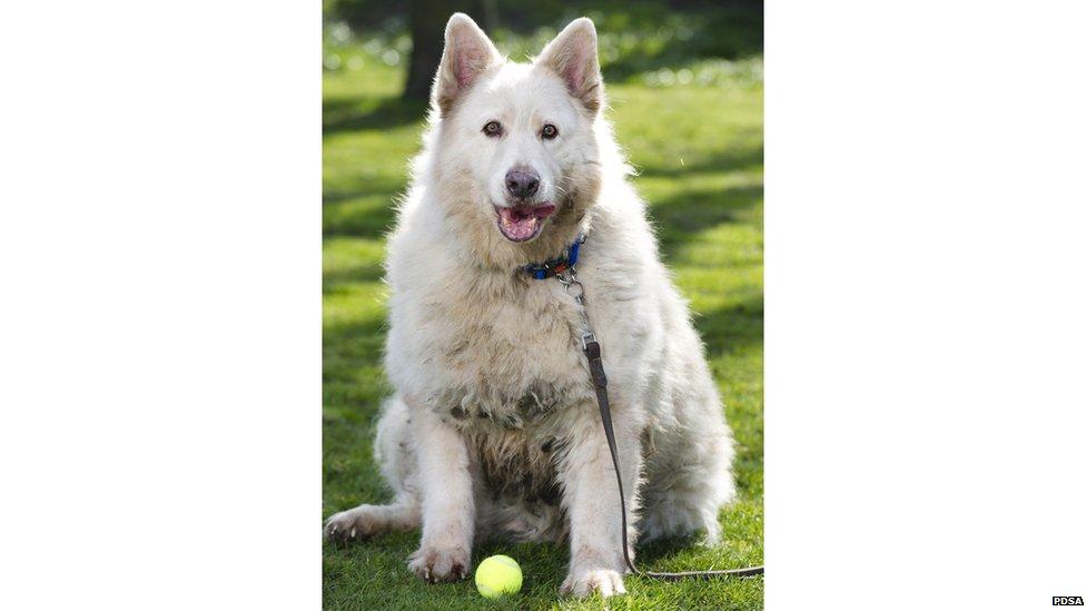 White wolf shepherd - photo#14