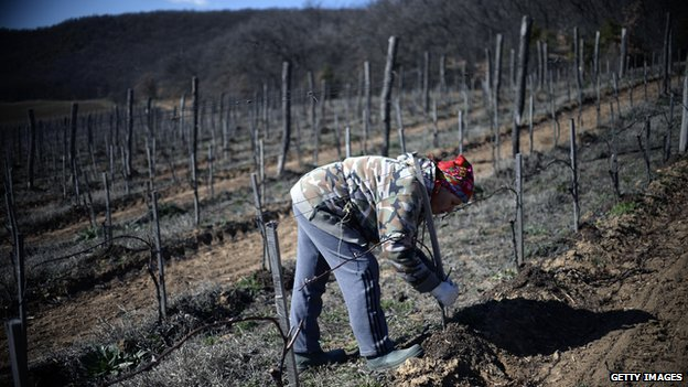Worker in Crimean vineyard (March 2014)