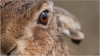 Brown Hare. Copyright Elliot Hook