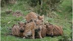 Wild boar: Copyright Scott Passmore