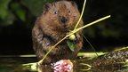 Water vole: Copyright Samuel Baylis