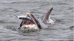 Bottlenose dolphin: Copyright Tim Stenton