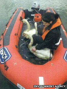 Swans on an RSPCA boat