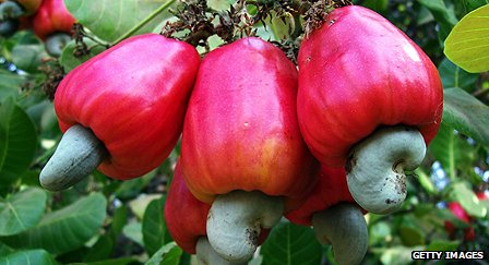 Cashew nuts before harvest in Guinea Bissau