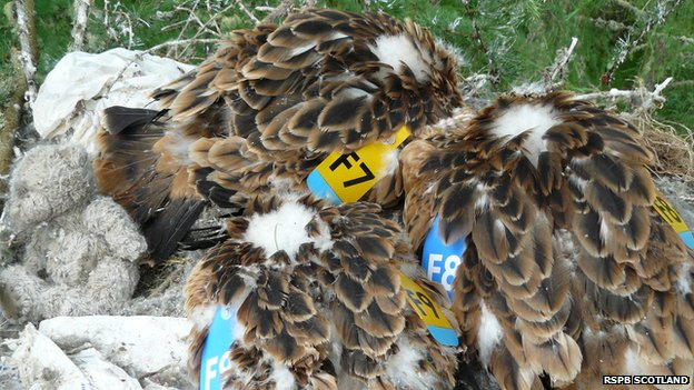 Tagged red kites