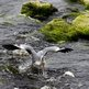 Grey Heron and sea trout in river