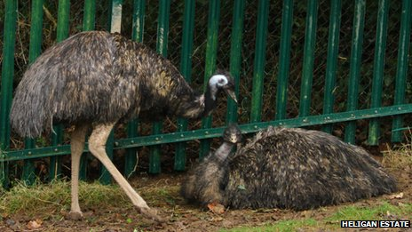 The emus have returned to Heligan 100 years on