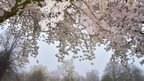 A shot looking up towards light pink and white blossom on a tree. Mist behind.