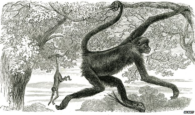American monkeys C.19th drawing