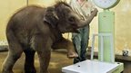 An elephant is being led onto some scales to be weighed