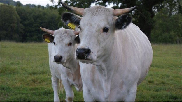 White Park cattle on Chirk estate