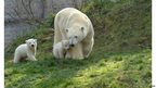 Polar bears in a zoo in Munich, Germany