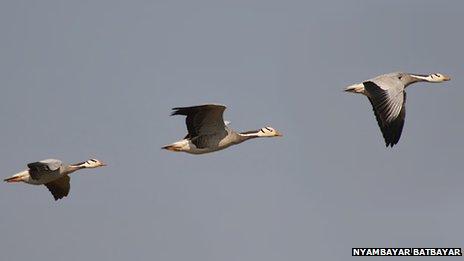 Bar-headed geese in flight