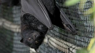 Dozens of fruit bats injured in Australia's January heat wave are being nursed back to health by a team of volunteers.