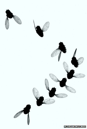 Time-lapse image of four escape maneuvers made by fruit flies.