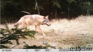 The wolf spotted in the woods of Czech Bohemia