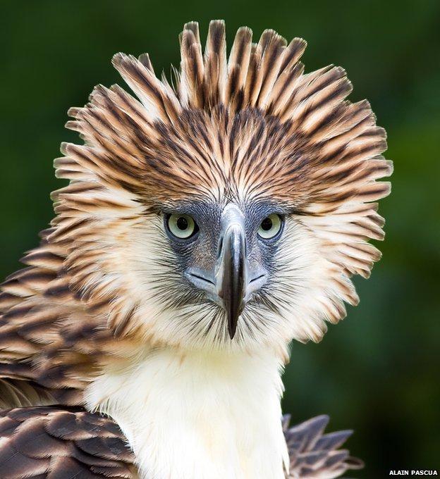 Philippine's eagle: Alain Pascua