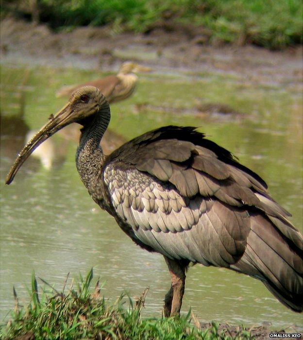 Giant ibis: EDGE ZSL (image: Omaliss Keo)