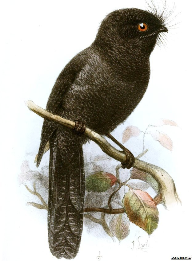 New Caledonian owlet-nightjar: ZSL EDGE (illustration by Joseph Smit in the journal The Ibis - 4th Series Volume 5, 1881)