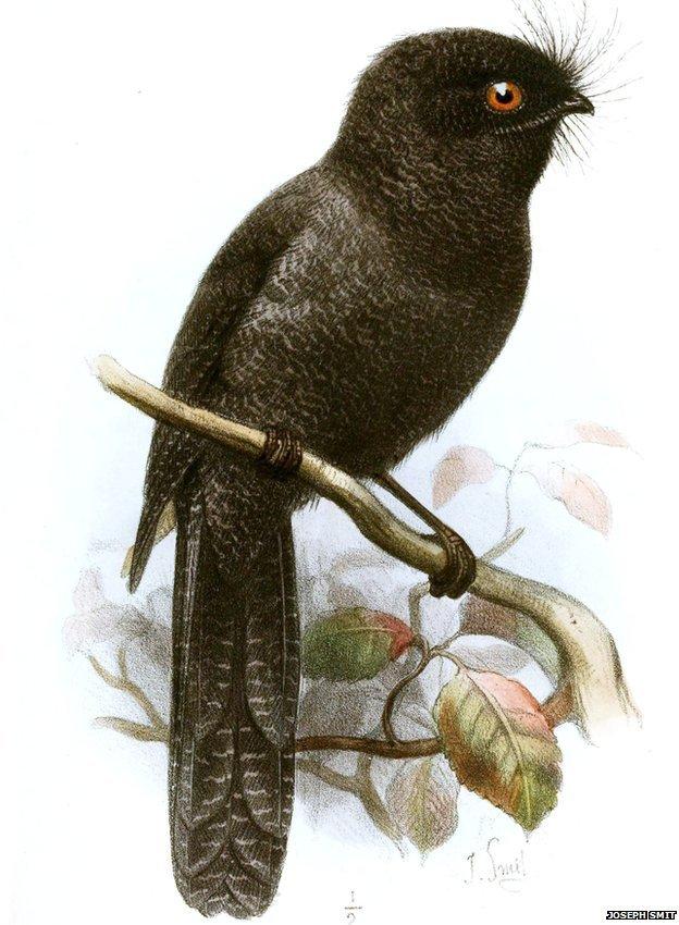 New Caledonian owlet-nightjar: ZSL EDGE (illustration by Joseph Smit in the journal The Ibis - 4th Series Volume 5, 1881)