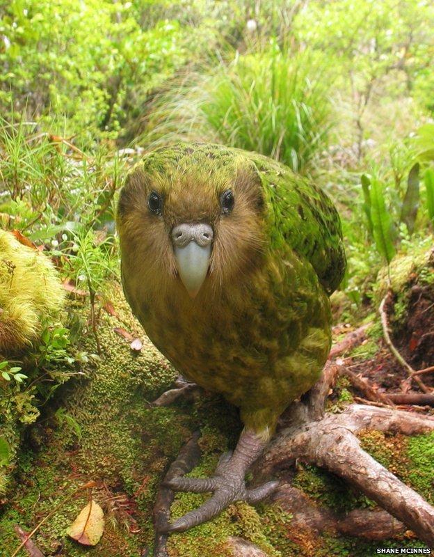 Kakapo: EDGE ZSL. Image copyright Shane McInnes