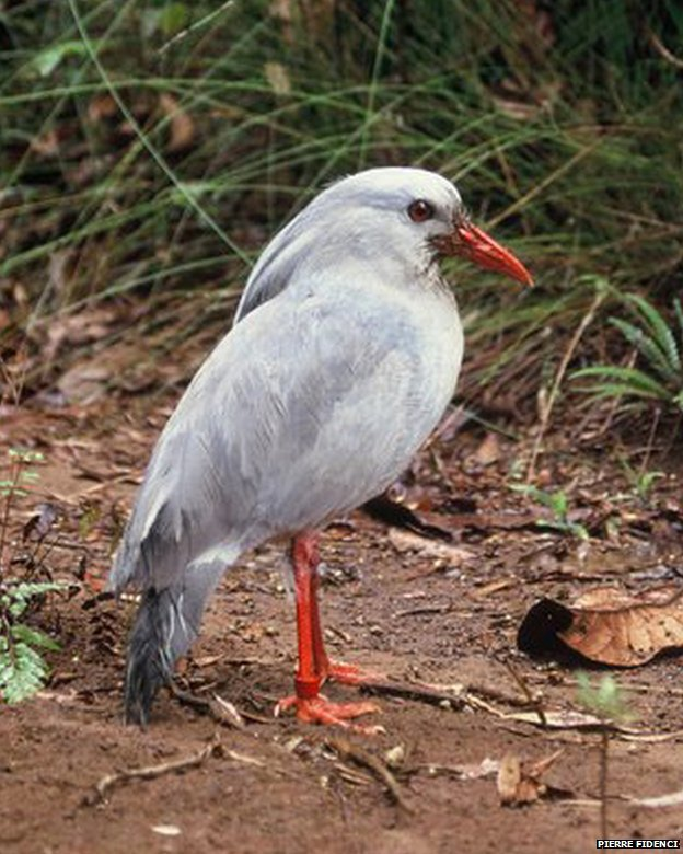 Kagu: ZSL EDGE (photo Pierre Fidenci, distributed under a CC-BY-SA-3.0 licence)