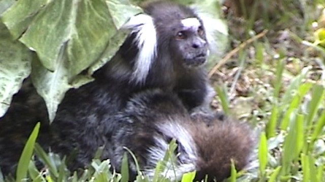 Male marmoset M1B cares for dying female F1B